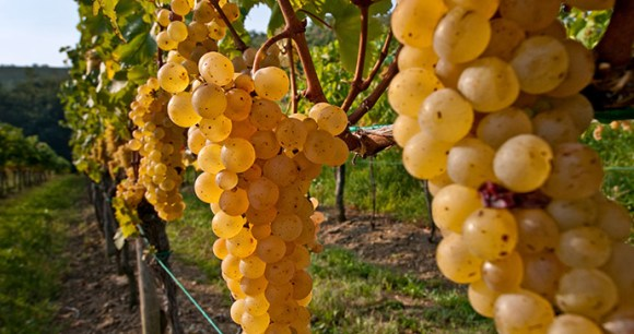 Vineyard, Friuli Venezia Giulia, Italy by Mario Verin Promo Turismo FVG