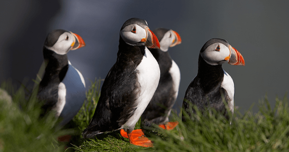 Puffins Iceland Europe by Visit-Iceland