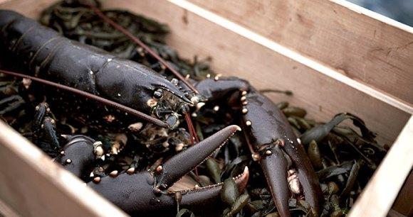 Lobster, Bohuslan Coast West Sweden © Jonas Ingman vastsverige.com