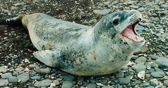 Leopard Seal of Antarctica by Papa Lima Whiskey, Wikimedia Commons
