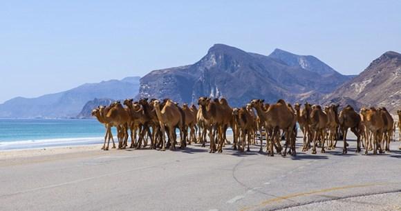 Camels on road, Dhofar, Oman by Jurate Buiviene, Shutterstock