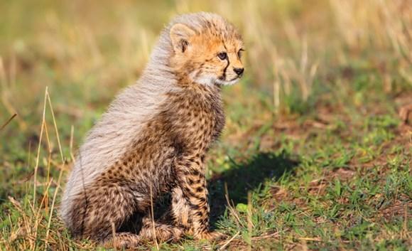 Cheetah Cub, A Cheetah's Tale by Maggy Meyer, Shutterstock
