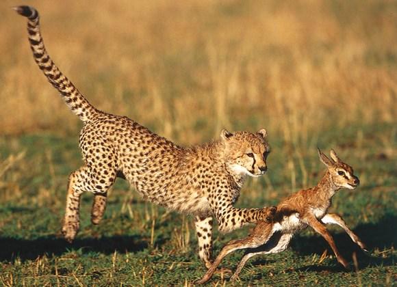 Cheetah hunting, A Cheetah's Tale by Jonathan Scott