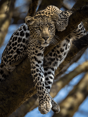 Well Hung Leopard, Olare Conservancy. Masai Mara © Paul Goldstein