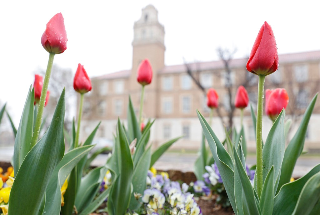 Mist covers a bed of red tulips on campus at Texas Tech, Monday, March 11, 2019, in Lubbock, Texas. (Brad Tollefson)