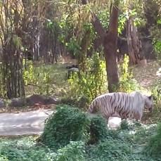 White Tiger at Pune Zoo