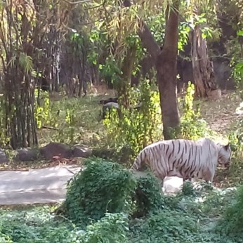 White Tiger at Pune Zoo