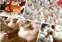 6 Best Breed Of Broiler In Nigeria