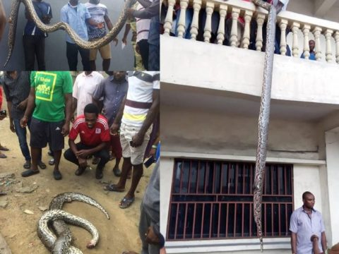 Huge Python Snake Killed Inside A House In Rivers State