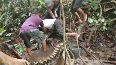 Six Men Fight A Huge 27ft Python After Wrapping Itself Around Man's Ankle