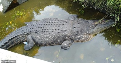 Crocodile Eat Female Scientist Alive While Feeding It