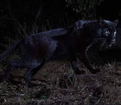 For The First Time In 100-Year Black Panther Spotted In Africa