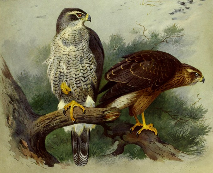 British goshawk by Archibald Thorburn, 1915 (public domain)