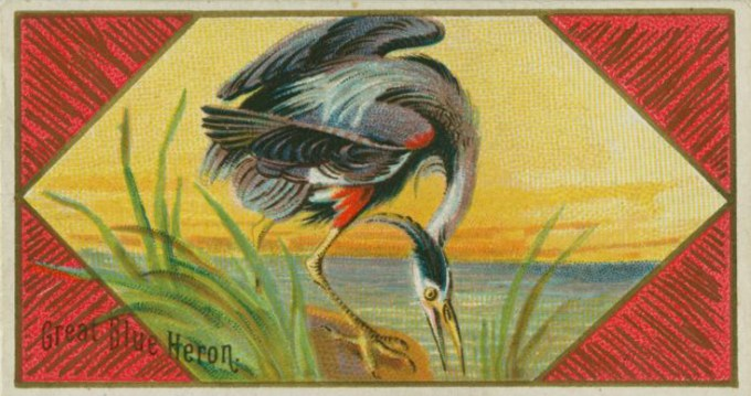 Great Blue Heron (New York Public Library public domain archive)