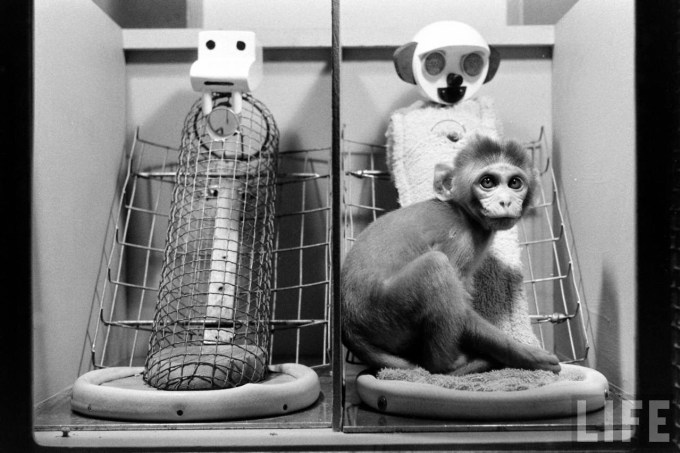 One of Harlow's baby monkeys displaying the consistent choice of cloth mother over wire mother