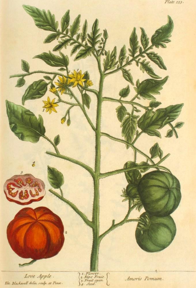 elizabethblackwell_curiousherbal_tomato.jpg?resize=680%2C1001