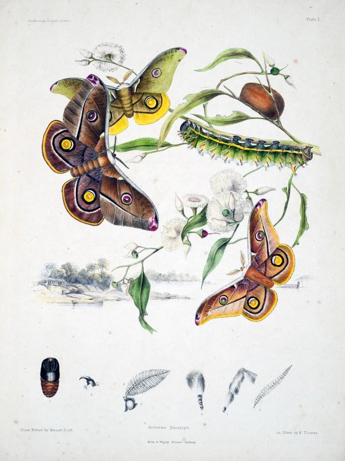 AustralianLepidoptera_Scott1_sm.jpg?resize=680%2C908
