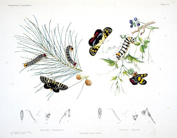 AustralianLepidoptera_Scott2_sm.jpg?resize=680%2C532