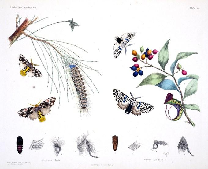 AustralianLepidoptera_Scott6_sm.jpg?resize=680%2C551