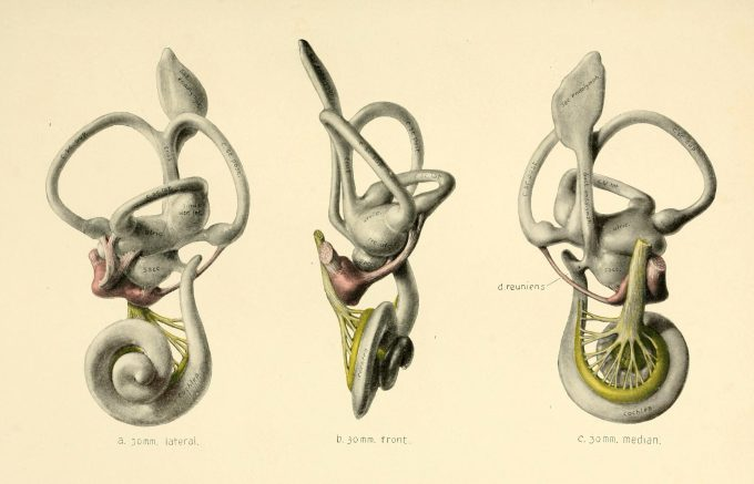 innerear_anatomy-scaled.jpg?resize=680%2C437