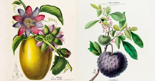 From Cacao to Clitoria: Luscious 19th-Century French Botanical Illustrations of the Most Vibrant Flora of the Americas