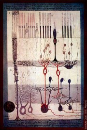 Ramon y Cajal retina