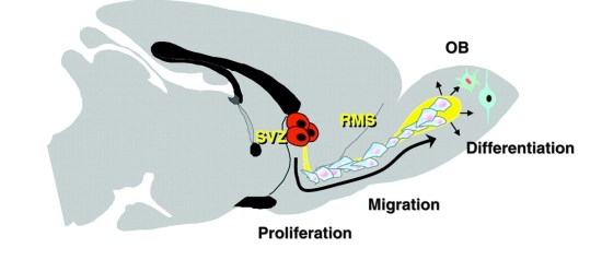 SVZ neurogenesis