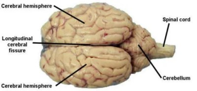 cerebellum and brain