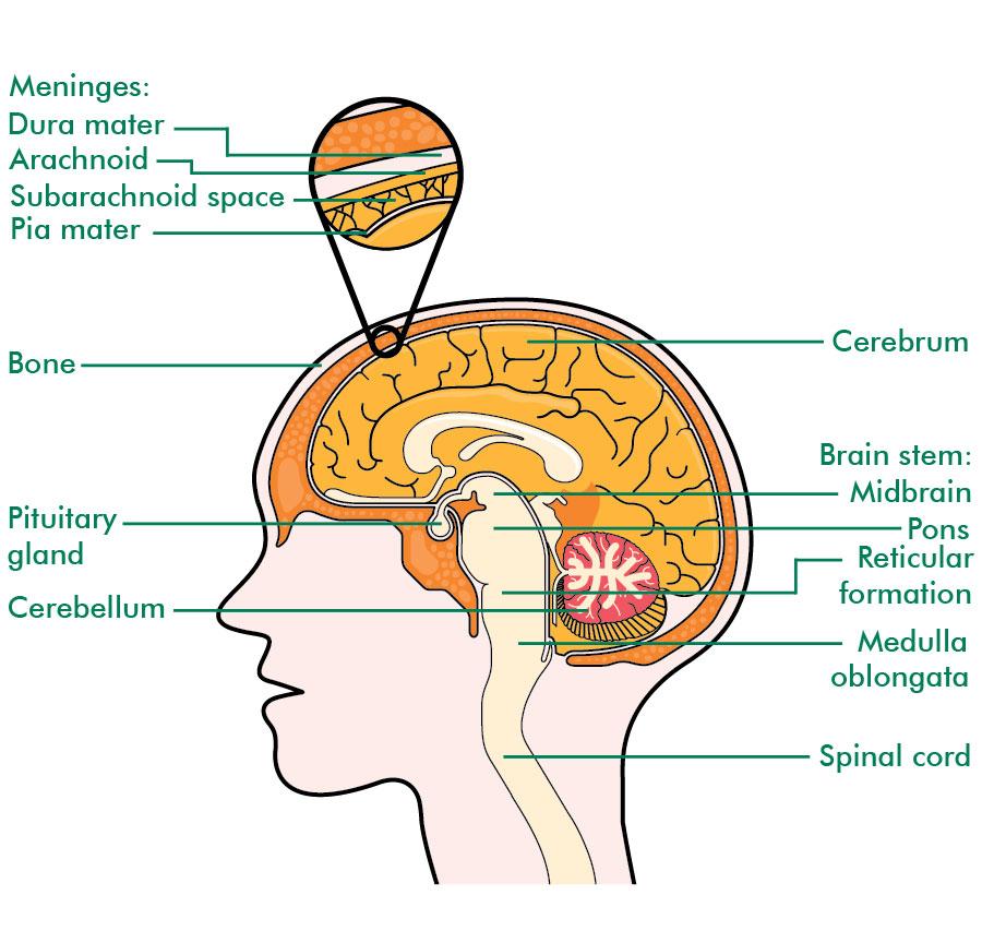 Brain Cross Section Irish Brain Tumour Support