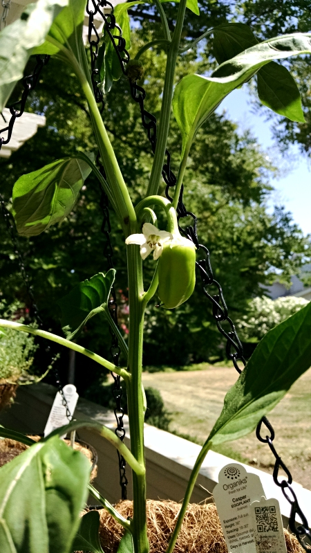 [image: sweet gypsy bell pepper]