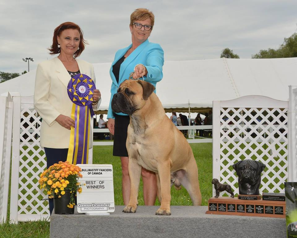 Sam, Am. Ch. Bramstoke's Sugar Daddy. Best of Winners and New Canadian Champion