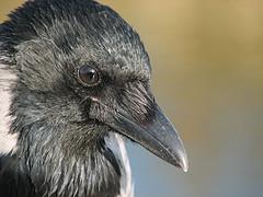 Crow, by Marko K