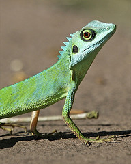Green Crested Lizard, by lip kee