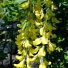 Laburnum alpinum, 'Scotch Laburnum'