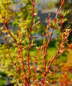 Acer palmatum Sango Kaku, 'Coral Bark Maple'