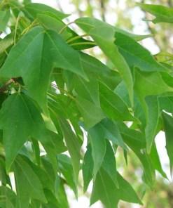 Acer buergerianum, 'Trident Maple'