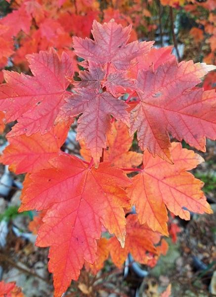 Acer rubrum - Somerset Maple