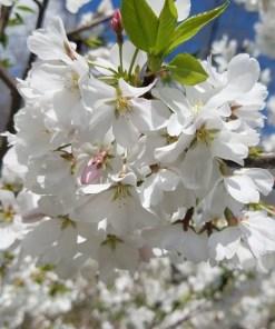 Prunus x yedoensis, 'Akebono Cherry'