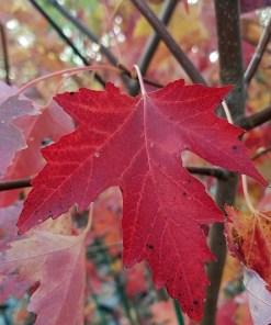 Acer rubrum 'Autumn Fantasy'