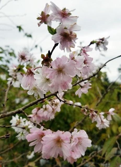 Prunus subhirtella, Autumnalis