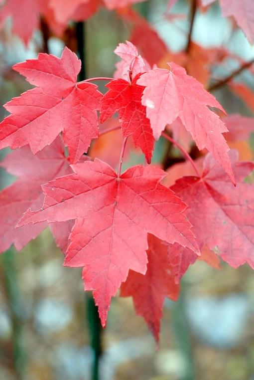 Acer rubrum - Brandywine Maple