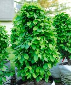 Carpinus betula, 'Columnaris Nana'