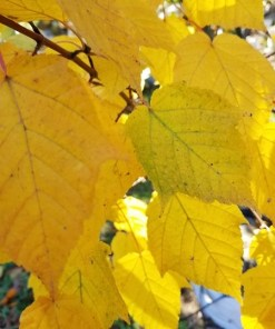 Acer davidii - David's Maple