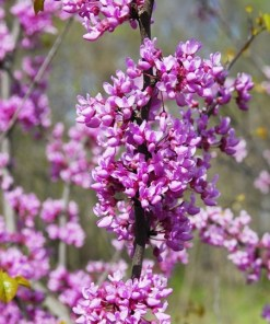 Cercis canadensis 'Eastern Redbud'