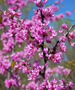 Cercis canadensis, 'Eastern Redbud'