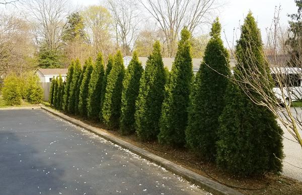 Thuja occidentalis – 'Emerald Green Arborvitae'