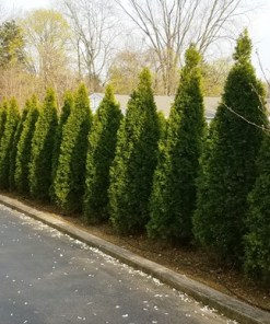 Thuja occidentalis – 'Emerald Green Arborvitae'