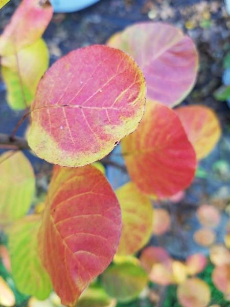 Cotinus coggygria, 'Golden Spirit Tree'