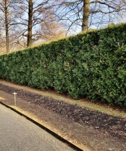 Thuja plicata hedge