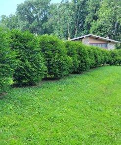 thuja plicata, green giant hedge